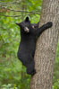 Black bear in a tree.  Black bears are expert tree climbers and will ascend trees if they sense danger or the approach of larger bears, to seek a place to rest, or to get a view of their surroundings. Orr, Minnesota, USA. Image #18745