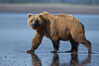 Brown bear walks on tide flats.  Grizzly bear. Lake Clark National Park, Alaska, USA. Image #19136