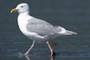 Glaucus-winged gull on tide flat. Lake Clark National Park, Alaska, USA. Image #19287