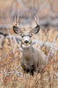 Mule deer in tall grass, fall, autumn. Yellowstone National Park, Wyoming, USA. Image #19577