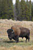 Bison. Yellowstone National Park, Wyoming, USA. Image #19599