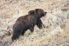 Grizzly bear, autumn, fall, brown grasses. Lamar Valley, Yellowstone National Park, Wyoming, USA. Image #19613