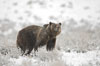 Grizzly bear in snow. Lamar Valley, Yellowstone National Park, Wyoming, USA. Image #19616