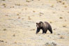 Grizzly bear, autumn, fall, brown grasses. Lamar Valley, Yellowstone National Park, Wyoming, USA. Image #19617