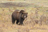 Grizzly bear, autumn, fall, brown grasses. Lamar Valley, Yellowstone National Park, Wyoming, USA. Image #19618