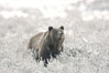 Grizzly bear in snow. Lamar Valley, Yellowstone National Park, Wyoming, USA. Image #19619