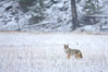 Coyote in snow covered field along the Madison River. Yellowstone National Park, Wyoming, USA. Image #19635
