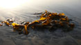 Kelp washes ashore in clumps on the rising tide. Carlsbad, California, USA. Image #19814