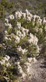 Sage plant in bloom. San Elijo Lagoon, Encinitas, California, USA. Image #19836