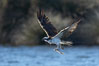 Osprey catches a small fish from a lagoon. Bolsa Chica State Ecological Reserve, Huntington Beach, California, USA. Image #19914