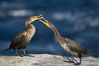 Juvenile double-crested cormorants sparring with beaks. La Jolla, California, USA. Image #19932
