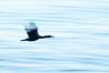Brandt's cormorant in flight over ocean, early morning. La Jolla, California, USA. Image #19937