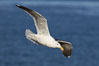 Western gull, flying. La Jolla, California, USA. Image #20060