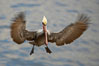 Brown pelican in flight, blurred due to long exposure before sunrise. La Jolla, California, USA. Image #20119