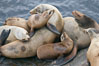 California sea lions hauled out on rocks beside the ocean. La Jolla, USA. Image #20131