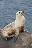 California sea lion hauled out on rocks beside the ocean. La Jolla, USA. Image #20133