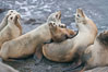 California sea lions hauled out on rocks beside the ocean. La Jolla, USA. Image #20134