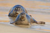 Pacific harbor seal on wet sandy beach. La Jolla, California, USA. Image #20214
