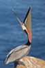 Brown pelican head throw.  During a bill throw, the pelican arches its neck back, lifting its large bill upward and stretching its throat pouch. La Jolla, California, USA. Image #20257