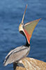 Brown pelican head throw.  During a bill throw, the pelican arches its neck back, lifting its large bill upward and stretching its throat pouch. La Jolla, California, USA. Image #20258