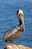 Brown pelican portrait, displaying winter breeding plumage with distinctive dark brown nape, yellow head feathers and red gular throat pouch. La Jolla, California, USA. Image #20267