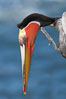 Brown pelican stretching its throat pouch. La Jolla, California, USA. Image #20299