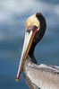 Brown pelican portrait, displaying winter breeding plumage with distinctive dark brown nape, yellow head feathers and red gular throat pouch. La Jolla, California, USA. Image #20304