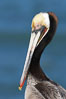 Brown pelican portrait, displaying winter breeding plumage with distinctive dark brown nape, yellow head feathers and red gular throat pouch. La Jolla, California, USA. Image #20309