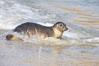 Pacific harbor seal washed by the ocean on sandy beach. La Jolla, California, USA. Image #20339