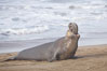 Male elephant seal rears up on its foreflippers and bellows to intimidate other males and to survey its beach territory.  Winter, Central California. Piedras Blancas, San Simeon, California, USA. Image #20386
