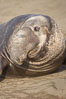 This bull elephant seal, an old adult male, shows extreme scarring on his chest and proboscis from many winters fighting other males for territory and rights to a harem of females. Piedras Blancas, San Simeon, California, USA. Image #20393