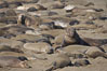 Elephant seals crowd a sand beach at the Piedras Blancas rookery near San Simeon. Piedras Blancas, San Simeon, California, USA. Image #20397