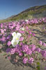 Dune primrose (white) and sand verbena (purple) bloom in spring in Anza Borrego Desert State Park, mixing in a rich display of desert color.  Anza Borrego Desert State Park. Anza-Borrego Desert State Park, Borrego Springs, California, USA. Image #20470