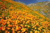 California poppies cover the hillsides in bright orange, just months after the area was devastated by wildfires. Del Dios, San Diego, California, USA. Image #20490