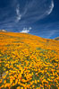 California poppies cover the hillsides in bright orange, just months after the area was devastated by wildfires. Del Dios, San Diego, California, USA. Image #20492
