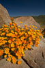 California poppies bloom amidst rock boulders. Elsinore, USA. Image #20495