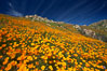 California poppies cover the hillsides in bright orange, just months after the area was devastated by wildfires. Del Dios, San Diego, California, USA. Image #20497
