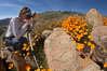 A photographer trains his camera on a bright orange bloom of California poppies. Elsinore, USA. Image #20503