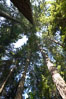 Douglas fir and Western hemlock trees reach for the sky in a British Columbia temperate rainforest. Capilano Suspension Bridge, Vancouver, Canada. Image #21149