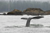 Gray whale, raising its fluke (tail) before diving to the ocean floor to forage for crustaceans, , Cow Bay, Flores Island, near Tofino, Clayoquot Sound, west coast of Vancouver Island. British Columbia, Canada. Image #21173