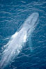 Blue whale, swimming through the open ocean. La Jolla, California, USA. Image #21248