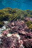 Various kelp and algae, shallow water. Guadalupe Island (Isla Guadalupe), Baja California, Mexico. Image #21402