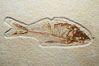 Fossil fish of the Eocene era, found in Fossil Lake, Green River Formation, Kemmerer, Wyoming.  From a private collection.  Order: Ellimmichyiformes: Family; Ellimmichthyidae; Diplomystus. USA. Image #21488