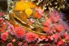 Rock scallop with encrusting orange cup corals (top) and strawberry anemones (bottom). Image #21526