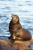 California sea lion, adult male, hauled out on rocks to rest, early morning sunrise light, Monterey breakwater rocks. USA. Image #21558