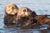 Sea otters, resting on the surface by lying on their backs, in a group known as a raft. Elkhorn Slough National Estuarine Research Reserve, Moss Landing, California, USA. Image #21604