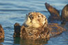 A sea otter resting, holding its paws out of the water to keep them warm and conserve body heat as it floats in cold ocean water. Elkhorn Slough National Estuarine Research Reserve, Moss Landing, California, USA. Image #21607
