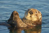 A sea otter, resting on its back, holding its paw out of the water for warmth.  While the sea otter has extremely dense fur on its body, the fur is less dense on its head, arms and paws so it will hold these out of the cold water to conserve body heat. Elkhorn Slough National Estuarine Research Reserve, Moss Landing, California, USA. Image #21608
