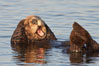 A sea otter, resting on its back, grooms the fur on its head.  A sea otter depends on its fur to keep it warm and afloat, and must groom its fur frequently. Elkhorn Slough National Estuarine Research Reserve, Moss Landing, California, USA. Image #21651