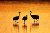 Sandhilll cranes in golden sunset light, silhouette, standing in pond. Bosque del Apache National Wildlife Refuge, Socorro, New Mexico, USA. Image #21798
